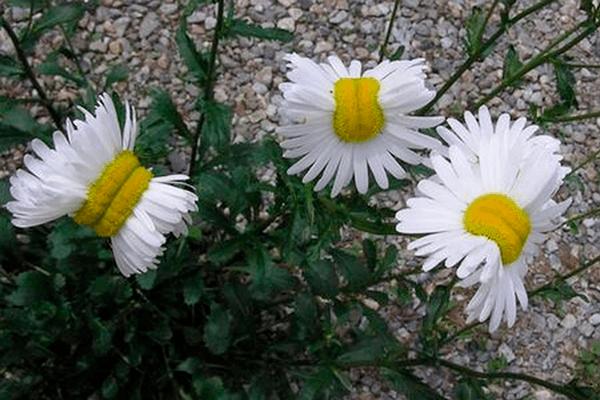Flores mutan a pocos kilómetros de la central nuclear de Fukushima