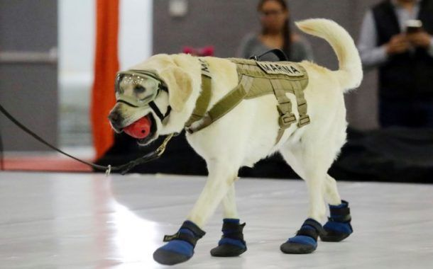 Perrita Frida dona sus botas de rescate al Museo del Calzado